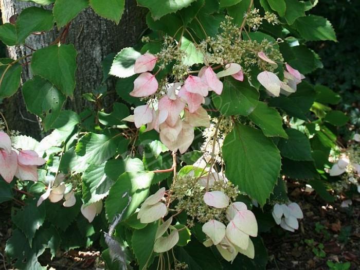SCHIZOPHRAGMA hydrangeoides 'Roseum'