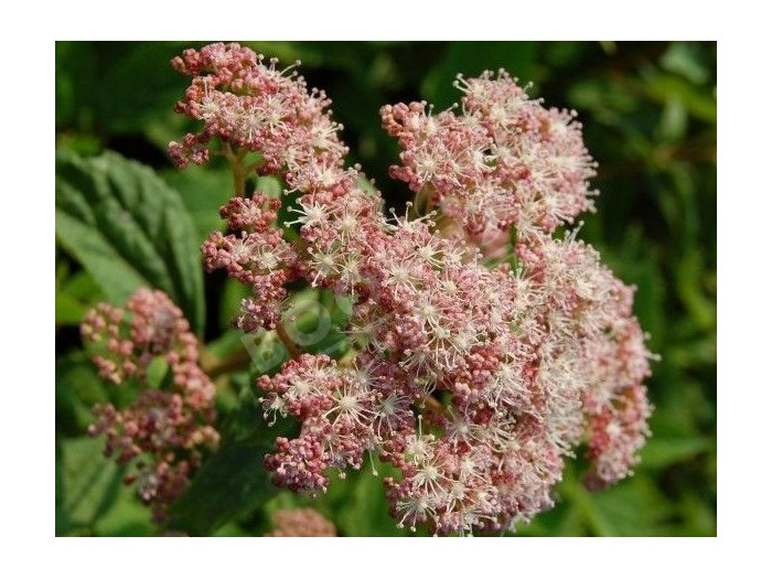 HYDRANGEA arborescens 'Pink pincushion'