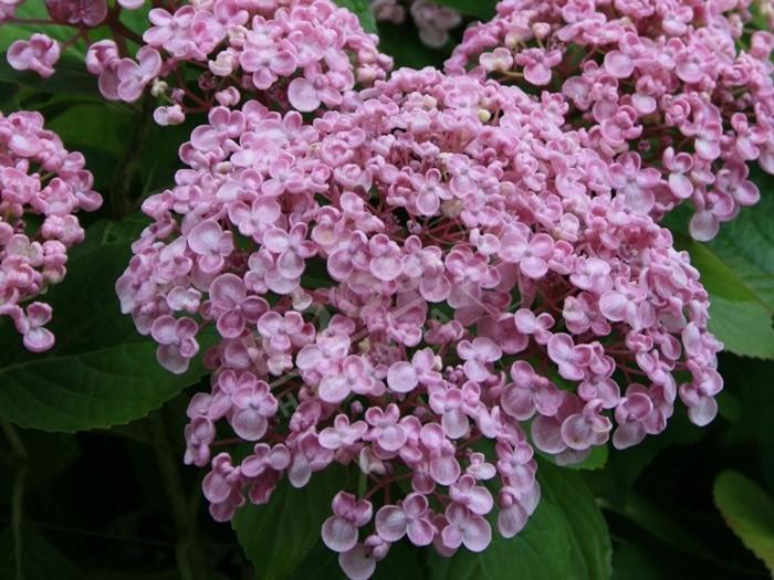Hydrangea macrophylla 'Ayesha' l'hortenisa à fleurs de lilas