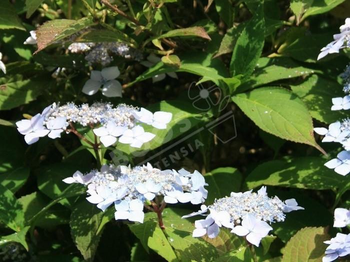 hortensia blue deckle en fleurs au jardin