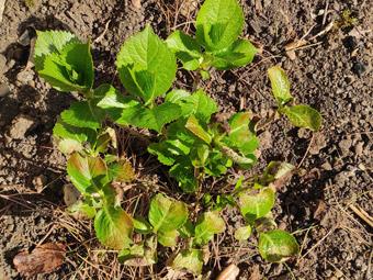 hortensia exemple de gel printanier