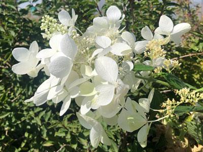 Hydrangea paniculata Hydream 'Cathy'