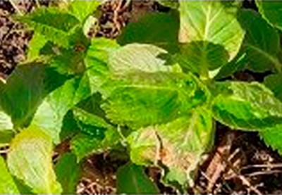 Les feuilles de mes 2 hortensias sont tachées - sont ils malades ?