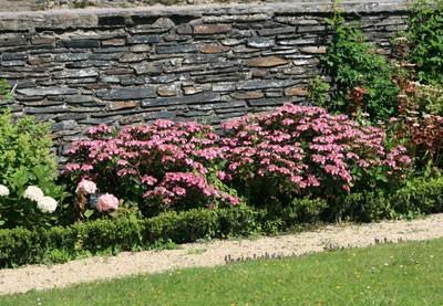 A quelle distance planter mes hortensias ?